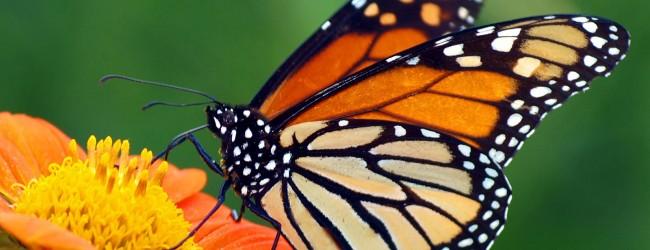 """Le farfalle: insetti """"naturalmente magici"""""""
