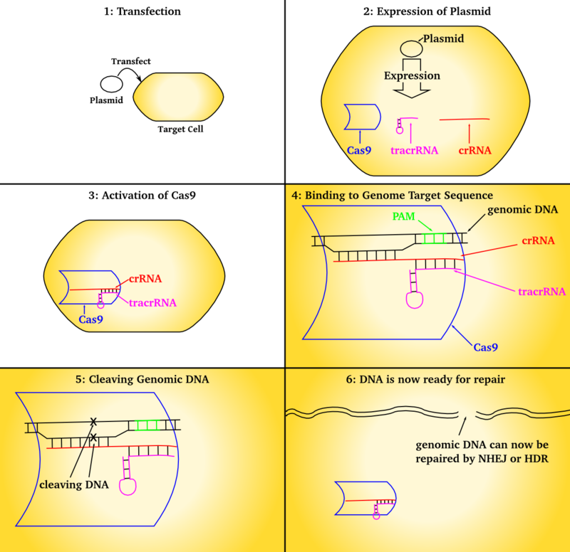 CRISPR_transfection